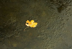 Yellow maple leaf frozen in the frozen river.Horizontal. Royalty Free Stock Image