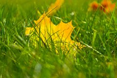 Yellow maple leaf in grass Royalty Free Stock Images