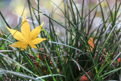 Yellow maple leaf on grass Stock Photography