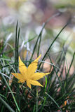 Yellow maple leaf on grass Royalty Free Stock Photography