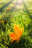Yellow maple leaf in the grass Royalty Free Stock Photos