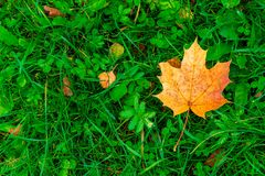 Yellow maple leaf on grass close-up view royalty free stock photo