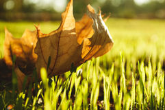 Yellow maple leaf on the grass Royalty Free Stock Photo