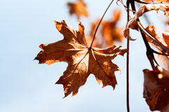 Yellow maple leaf on the grass Stock Images