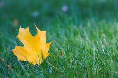 Yellow maple leaf on grass. Yellow maple leaf on green grass in fall season Royalty Free Stock Image
