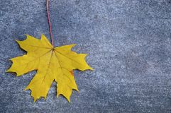 Yellow maple leaf on the gray concrete backdrop royalty free stock image