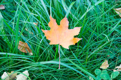 Yellow maple leaf on the green grass Stock Photography