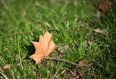 Yellow maple leaf on green grass. Royalty Free Stock Photography