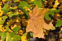 Yellow maple leaf and green leaves Stock Images