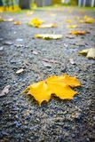 Yellow, maple leaf on the ground, close up shot,. Yellow, maple leaf on the ground in the park, close up shot Royalty Free Stock Photography