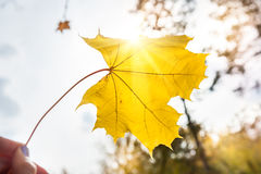 Yellow maple leaf in hand Royalty Free Stock Photo