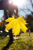 Yellow maple leaf. Hand holding yellow maple leaf in autumn at blue sky with sun Royalty Free Stock Photography