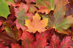 Yellow maple leaf on a heap of leaves royalty free stock images
