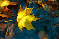 Yellow maple leaf on the ice Stock Image