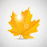 Yellow maple leaf - illustration Royalty Free Stock Photography