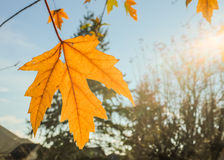 Yellow maple leaf irradiated by the sun; autumn branches and blue sky in background Royalty Free Stock Photo