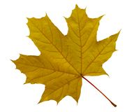 Free Yellow Maple Leaf Isolated Stock Image - 162840811