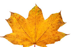 Yellow maple leaf isolated Stock Photos