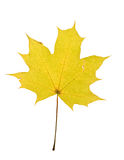 Yellow maple leaf isolated Royalty Free Stock Photography