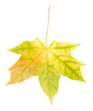 Yellow Maple Leaf Isolated Stock Photography