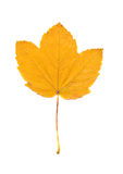 Yellow maple leaf isolated on white Royalty Free Stock Photo