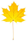 Yellow maple leaf isolated on a white Stock Image