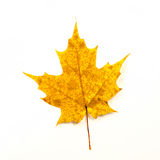 Yellow Maple Leaf Isolated on White Stock Photos