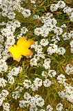Yellow maple leaf lie on a white flowers Royalty Free Stock Photos