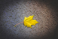 Yellow maple leaf lies alone Stock Image
