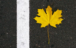 The yellow maple leaf lies on the asphalt and the white stripe Stock Photography