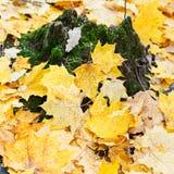 Yellow maple leaf litter around mossy tree stump Stock Photo