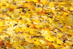 Yellow maple leaf litter in sunny autumn Stock Photography