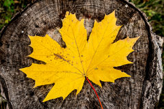Yellow maple leaf lying on a brown stump. Yellow autumn maple leaf lying on a brown stump Royalty Free Stock Photography