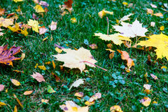 Yellow maple leaf lying on the green grass. Autumn in Russia Stock Images