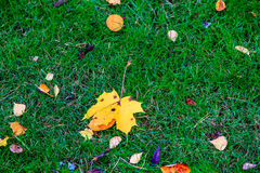 Yellow maple leaf lying on the green grass. Autumn in Russia Stock Photography