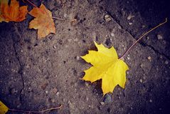 Yellow maple leaf lying on the pavement royalty free stock photography