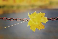 Yellow maple leaf on a metal chain. Autumn concept.  royalty free stock images