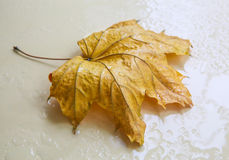 Yellow maple leaf in rain drops Stock Photography