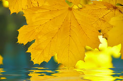Yellow maple leaf  reflected in the water on the background of autumn park Stock Images