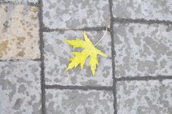 Yellow maple leaf on the road Royalty Free Stock Images