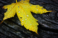 Yellow maple leaf. Single yellow maple leaf on old dark rough wood Royalty Free Stock Photos
