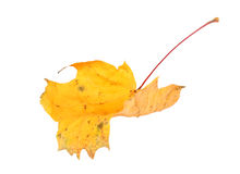 Yellow maple-leaf Stock Images