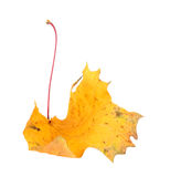 Yellow maple-leaf Stock Photography