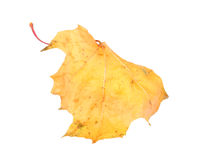 Yellow maple-leaf Royalty Free Stock Photography