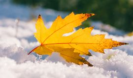 Yellow maple leaf in the snow Stock Image