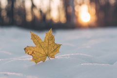 Yellow maple leaf in snow. Late fall and early winter. Autumn mood. Goodbye autumn and hello winter. n stock images