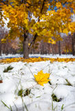 Yellow maple leaf in Snowy Park Stock Images