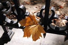 Yellow maple leaf Royalty Free Stock Photo