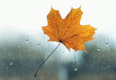 Yellow maple leaf stuck to wet the glass window with the rain drops Stock Photo