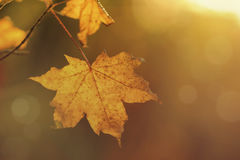 Yellow maple leaf in sunlight closeup Royalty Free Stock Photos